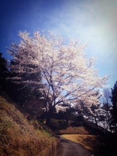 sakura201404302.JPG